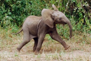 baby elephant prancing